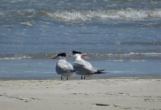 Royal Terns. Sterna maxima