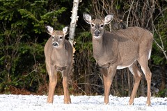 White-Tailed Deer (_talon263_) Tags: deer animal nature wildlife ontario canada outdoor november