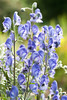 Aconitum aff. napellus subsp. vulgare (Alan Buckingham) Tags: aconitumaffnapellussubspvulgare blue flower monkshood perennial purple