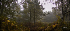The Heart Of The Forest. (Picture post.) Tags: landscape nature green forest autumn mist bracken trees birch paysage arbre brume