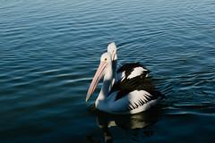 Whisper (haoguoju) Tags: coastwalk newsouthwales sydney australia afternoon sun ocean seaside sea winter landscape water outdoor sky centralcoast theentrance canon canonm3 canoneosm3 efm1855mmf3556isstm stm efm 1855mm efm1855mmf3556 mirrorless bird pelicanfeeding pelican animal waterbird feather