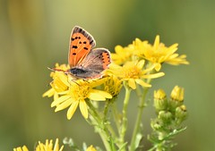 Summer daze. (pstone646) Tags: butterfly copper nature insect animal wildlife fauna flora flower plant green orange yellow bokeh kent