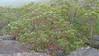 Angophora costata_9 (Tony Markham) Tags: angophoracostata sydneyredgum rustygum smoothbarkedapple blushing orange red pink colour color myrtaceae tree flowering flower inflorescence wisestrack royalnationalpark
