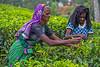Tea Leaf Pickers, Rothschild Tea Estate, Sri Lanka (bfryxell) Tags: pussellawa rothschildteaestate srilanka tealeafpicker teaplant teaplantation worker
