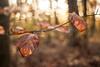 Life is full of Fleeting Moments (ursulamller900) Tags: pentacon2829 bokeh beech buche teutoburgerwald blätter leaves autumn autumncolors herbst wald forest