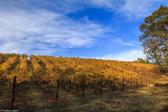 Vineyard - Autumn Colors III (allentimothy1947) Tags: california autumn fallcolors landscape napecounty vineyard fall wine winery tree sky blue st helena road beautiful yellow green red leaves vines