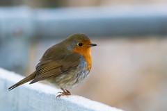 IMGL9816.jpg (alan.forster16877@btopenworld.com) Tags: robin red breast