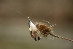 2017-09-08_ChardonneretElegant_9054 (Bruno Pesenti) Tags: oiseaux chardonneretélégant fringillidés passériformes