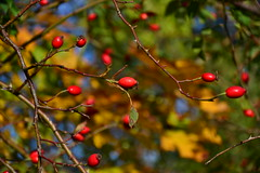 ... (tewhiufoto) Tags: tewhiufoto autumn fall podzim herbst czechia nature brier wildrose rosehip tewhiu colorsoffall barvypodzimu herbstfarben colours nikon eu europe