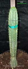 Trichocereus pachanoi clone 'YOWIE' (Pic #1) (mattslandscape) Tags: yowie clone trichocereus pachanoi hybrid cv alkaloid patrick noll trichocereusnet yarrawonga victoria austrailia oz fields collection sab cactus cacti kakteen plant