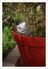 blanc sur rouge (Christ.Forest) Tags: blanc cats nikon felin ronron rouge pot nature bouledepoils red white cat kitten pet chaton