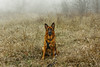 Let Me Go (Viv Lynch) Tags: canada ontario toronto scarborough bluffs fog weather mist scarboroughbluffs forest woods nature walking waterfronttrail eastend autumn fall winter cliffside meadow coldweather mood dog dogs germanshepherd alsatian pet dogwalking