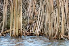 Roerdomp / Great bittern (MarkBosNL) Tags: nature wildlife natuur vogel vogelen bird birding netherlands nederland egrets bittern sony a77ii tamron tamron150600g2