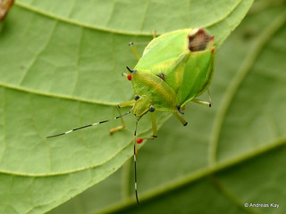 Shield bug with red mites