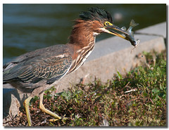 Green Heron (Betty Vlasiu) Tags: green heron butorides virescens bird nature wildlife