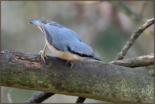 Nuthatch (image 2 of 2)