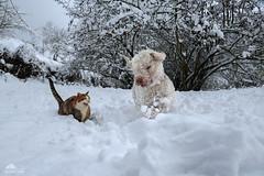 "Monica: ""Let's Go, Mark! Run, Run, Run!!!"" (Xena*best friend*) Tags: monicabellucci mb cats catsanddogstogheter lagottoromagnolo lagotto retrieverdog retrievertrufflesdog snifferdog trufflesniffer piedmontitaly piemonte waterdog waterretrievingdogs greatcompanionforchildren excellentsenseofsmell clever affecionate intelligent acquaticdog attentive trufflehunter theonlybreedofdogthatisofficiallyrecognizedasspecializedintrufflehunting hypoallergeniccoats pedigree animals pets dogs whiskers feline katzen gatto gato chats furry fur pussycat feral tiger kittens kitty canoneos760d italy wood woods wildanimals wild paws calico markings purr digitalrebelt6s efs18135mm flickr outdoor animal pet winter snow cold loldogsandcats marktwain lagottoromagnolodogs"
