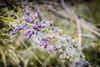 Wisteria (CORDAN) Tags: portangeles backyard cordanated flowers bloom green wisteria cordan dmyers 2017 nikon d500 170550mmf28