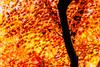 Late Autumn (aotaro) Tags: autumnleafcolors leaves kanagawa autumncolors ozenji autumn sal70300g ilce7m2 ozenjitemple autumnmorning kawasaki japan autumnleaves