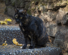 Local host feline (wplynn) Tags: coppercreekinn mtrainiernationalpark washington state restaurant inn mtrainier cat feline