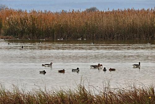 Salt lakes residents /Szikes tavak lakói