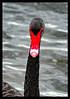 Black Swan Stare (ag&ph2010) Tags: waterbirds water birds swan williamstown blackswan