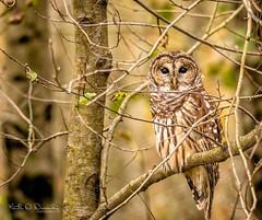 Owl repaired 2 (Keith Drevecky) Tags: muscatatucknationalwildliferefuge owl barred