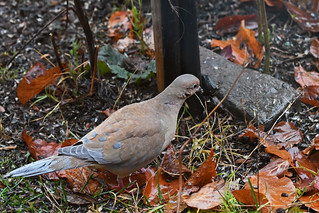 Leucistic Mourning Dove (East Norriton)