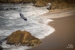 Great Blue Over Montara Beach (Selkii's Photos) Tags: birds california greatblueheron heron montara montarabeach ocean pacificocean seascape water waves unitedstates us