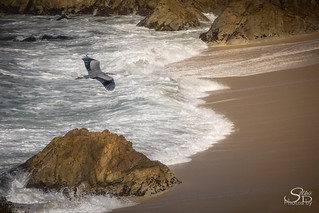 Great Blue Over Montara Beach