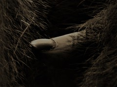 Gorilla's Thumb (rachael242) Tags: 7dwf fauna flora animal wild gorilla western lowland thumb hand nail finger abstract macro close up monochrome black white hair fur