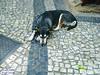 Soneca (Janos Graber) Tags: cadela cão animal dormindo riodejaneiro
