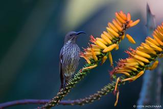 Amethyst Sunbird (j)