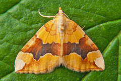 1765-P1130079 Barred Yellow (Cidaria fulvata) (ajmatthehiddenhouse) Tags: stmargaretsatcliffe kent uk 2017 garden moth geometridae larentiinae barredyellow cidariafulvata cidaria fulvata