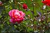 Rosa (Rafel Miro) Tags: vitoria paisvasco gasteiz flower flor paisbasc alava alaba araba euskalherria rosa