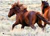 LET'S DANCE ... (Aspenbreeze) Tags: wildhorse wildstallion horse stallion wildequine equine horses wildlife coloradowildlife nature mane hooves chestnuthorse bevzuerlein aspenbreeze moonandbackphotography