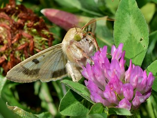 Genus Heliothis Нощна пеперуда DSC_0469
