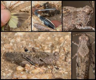 Crackling Forest Grasshopper (Trimerotropis verruculata suffusa) - Male