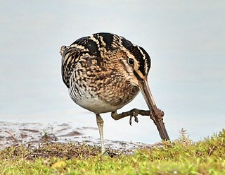 Snipe cleaning the mud off his Bill