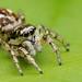 Salticus+scenicus+zebra+jumping+spider