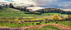 IMG_0885-86Ptzl1scTBbLGER (ultravivid imaging) Tags: ultravividimaging ultra vivid imaging ultravivid colorful canon canon5dmk2 autumn autumncolors fall evening fields farm field panoramic clouds sunsetclouds cows trees twilight pennsylvania pa scenic vista painterly