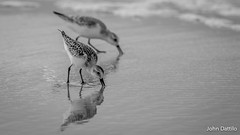 Sanderlings foraging on the beaches of Gulf Shores Alabama. (flintframer) Tags: sanderlings foraging gulf shores alabama wildlife nature birds bw black white dattilo wow america american canon eos 7d markii ef600mm 14x