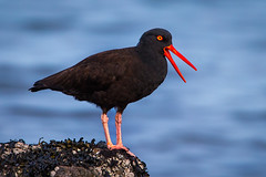 Black Oystercatcher (Eric Gofreed) Tags: blackoystercatcher britishcolumbia canada oystercatcher vancouverisland