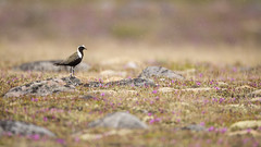 American Golden Plover in the Rain (Jeff Dyck) Tags: american golden plover americangoldenplover pluvialisdominica tundra flowers male rhododendronlapponicum rain drizzle birds jeffdyck churchill manitoba laplandrosebay