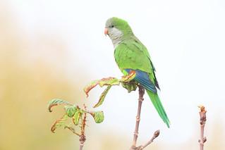 perruche moine / monk parakeet