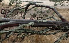 Old Manzanita (brian dean bollman) Tags: sonomacountyca foothillregionalpark manzanita arctostaphylos