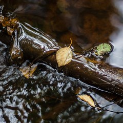 Fall (Stefano Rugolo) Tags: stefanorugolo pentax k5 smcpentaxm50mmf17 leaves flow water stream autumn fall sweden hälsingland abstract pantarhei