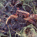 Cardisoma land crab on defensive. Parasite on abdomen or in berry after dachshund attack. Mafia off Tanzania