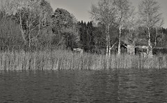 From the boat (Stefano Rugolo) Tags: stefanorugolo pentax k5 smcpentaxm50mmf17 monochrome lake reeds tree sweden hälsingland blackandwhite landscape