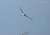 Turning in Style.... (Anirban Sinha 80) Tags: nikon d610 fx 500mm f4 ed vrii n g bokeh bird plover wings flight